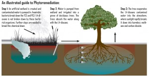 There have been various examples throughout the world, where the phytoremediates are used to purify contaminated water and land.