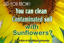 Sunflowers are very good phytoremediates and have the ability to clean up the soil.