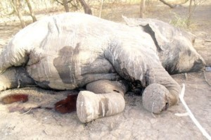 Slaughtered-Elephant-in-Chad-e1357684557127