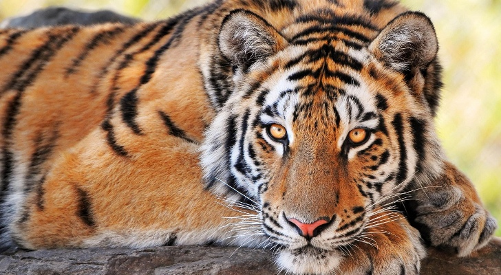 The Magnificence of the Tiger