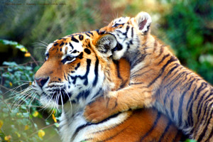 Humans and Tigers Have a Lot in Common