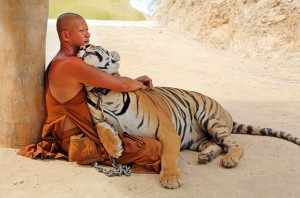 A buddhist monk hugs a Tiger in a natural display of affection
