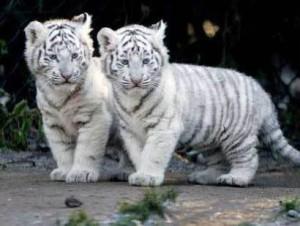 White Tiger Twins