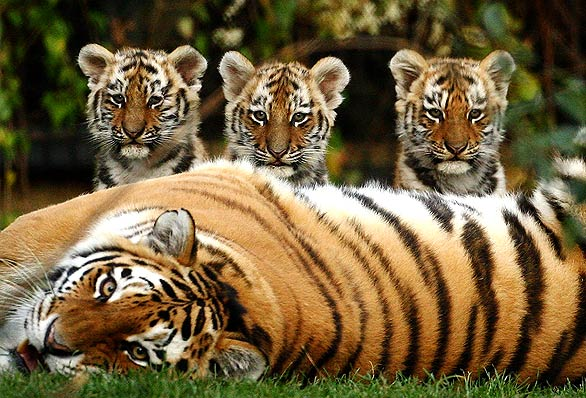 Waiting For The Day When Tigers Will Be Safe Once Again