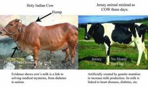 desi-cow-vs-jersey-animal