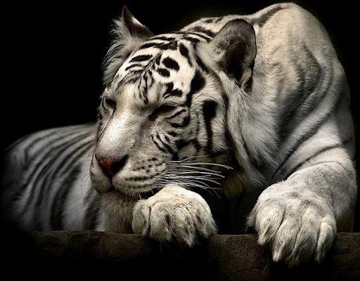 White Tiger Male
