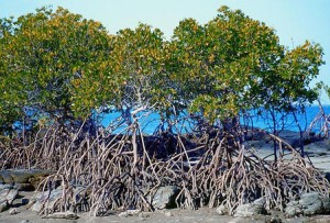 Mangroves can be beautiful too, not filthy, like the ones we're used to