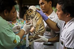 tiger doctors