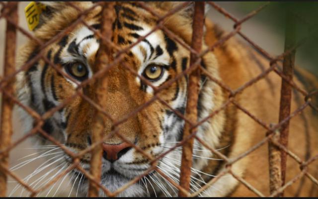 tiger in cag