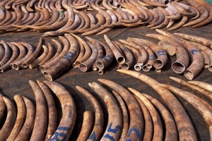 The huge demands of tusks and other animal products encourages poachers and hunters.