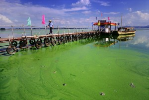 This is how the green algae grows on the surface of stagnate water bodies.