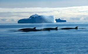 antarctic whaling