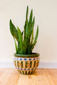 Indoor potted snake plant