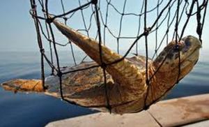 oil spill turtle