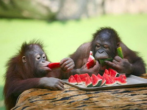 orangutans-delighting-in-some-watermelon