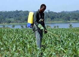 A farmer spraying chemical fertilizers on the crops.