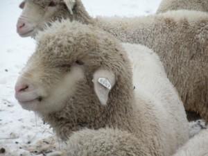 organic-wool-certified