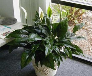 Peace-Lilies-Indoor-House-Plant