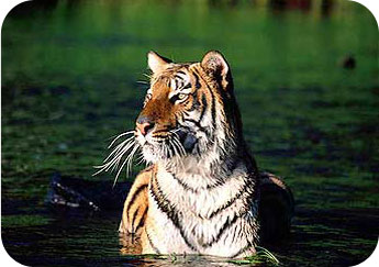 sunderbans-royal-bengal-tiger